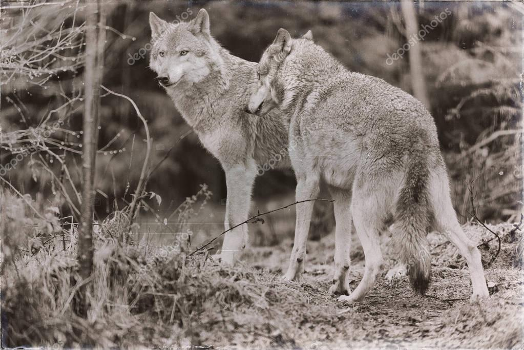 two wolves standing in rainy forest