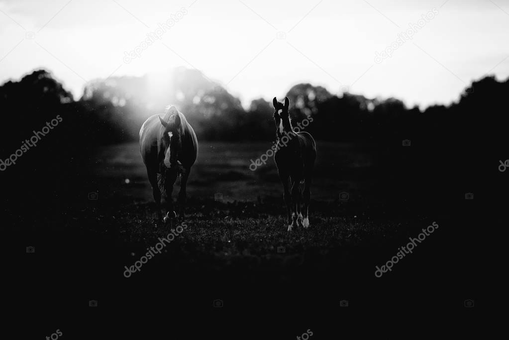 horse with foal on farmland