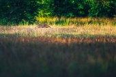 Roe deer running in field