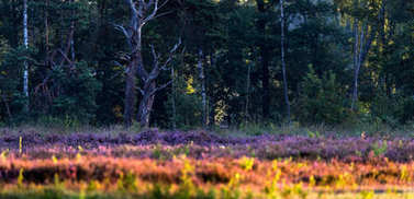 Blooming heather with bare trees