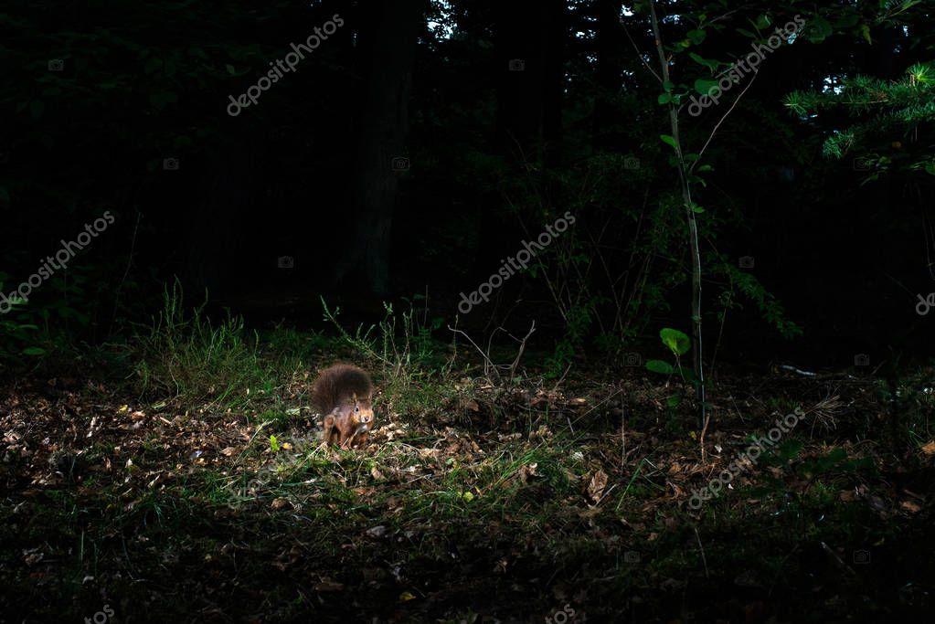 Red squirrel sitting on ground