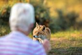 Liška obecná se blíží starší žena