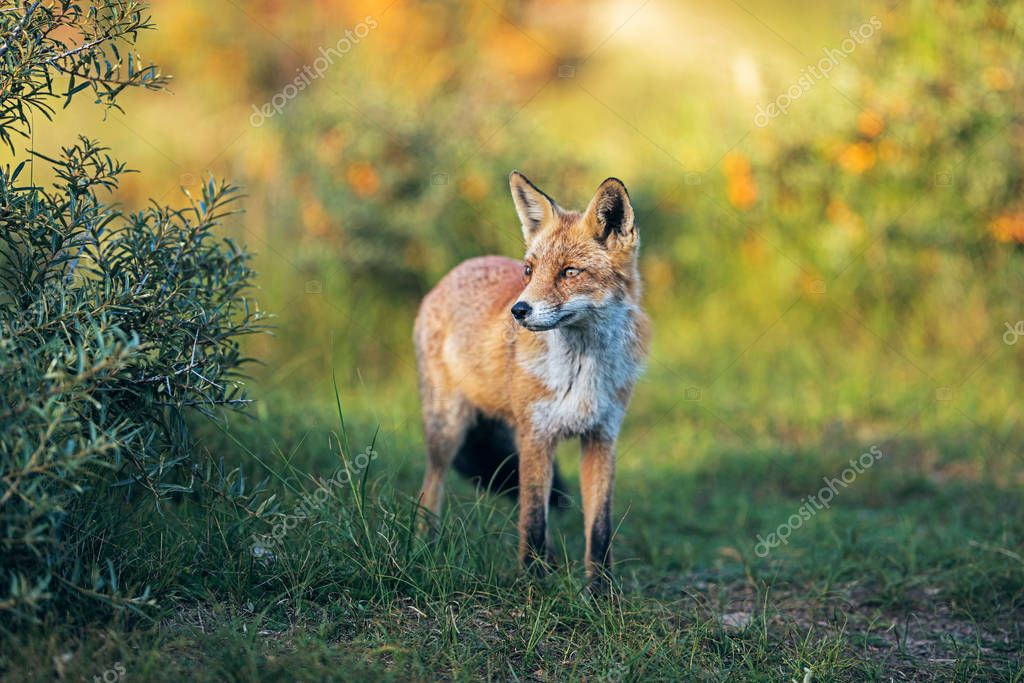 Red fox standing on green field