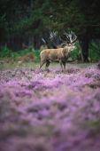Photo deer in moorland with blooming heather