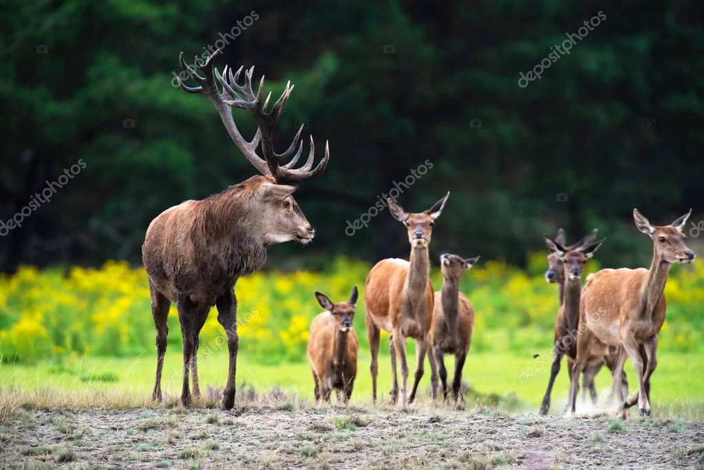 Red deer stag with herd