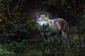Solitary gray wolf