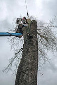 Arborist in platform cutting oak