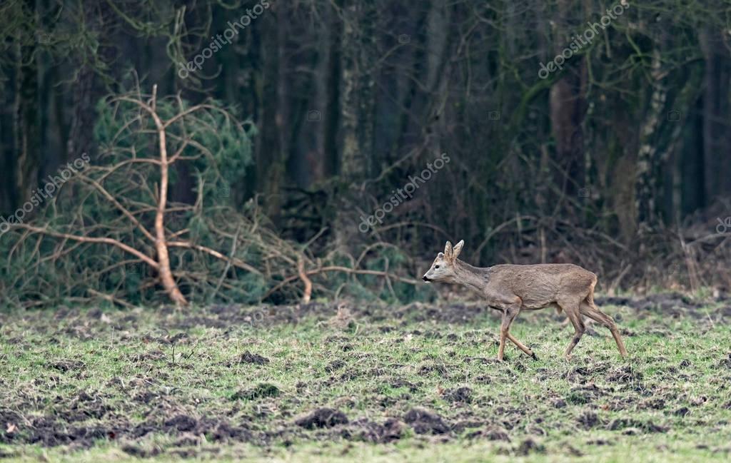 Young roebuck on meadow