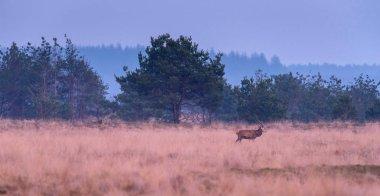 Solitary deer walks in yellow grass