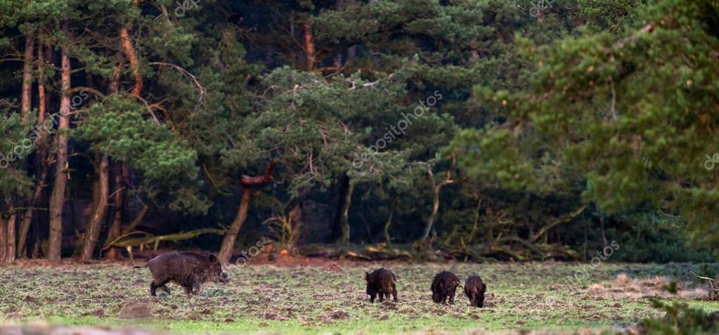boar with young ones on meadow