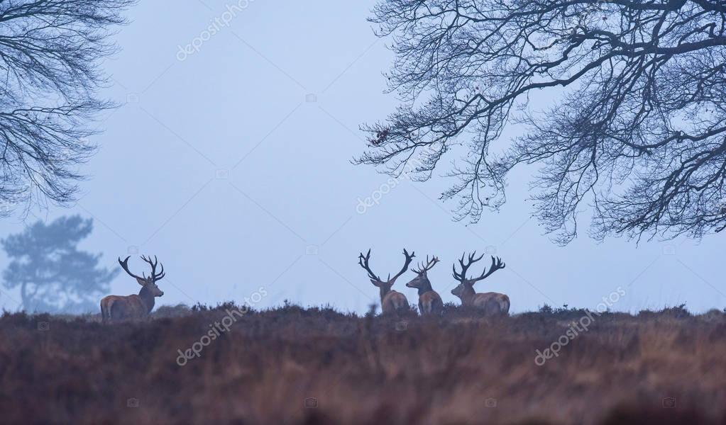 Red deer stags in winter