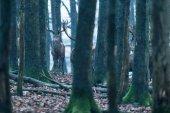Fotografia Cervo tra tronchi dalbero