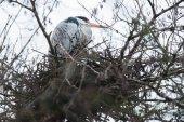 Photo Grey heron sitting on nest