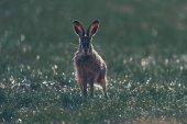Alert Feldhase (Lepus Europaeus) mit spitzen Ohren im Feld