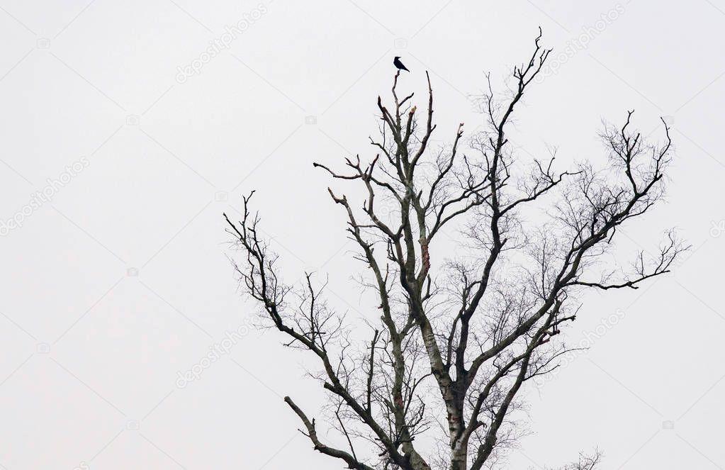 crow on bare winter tree