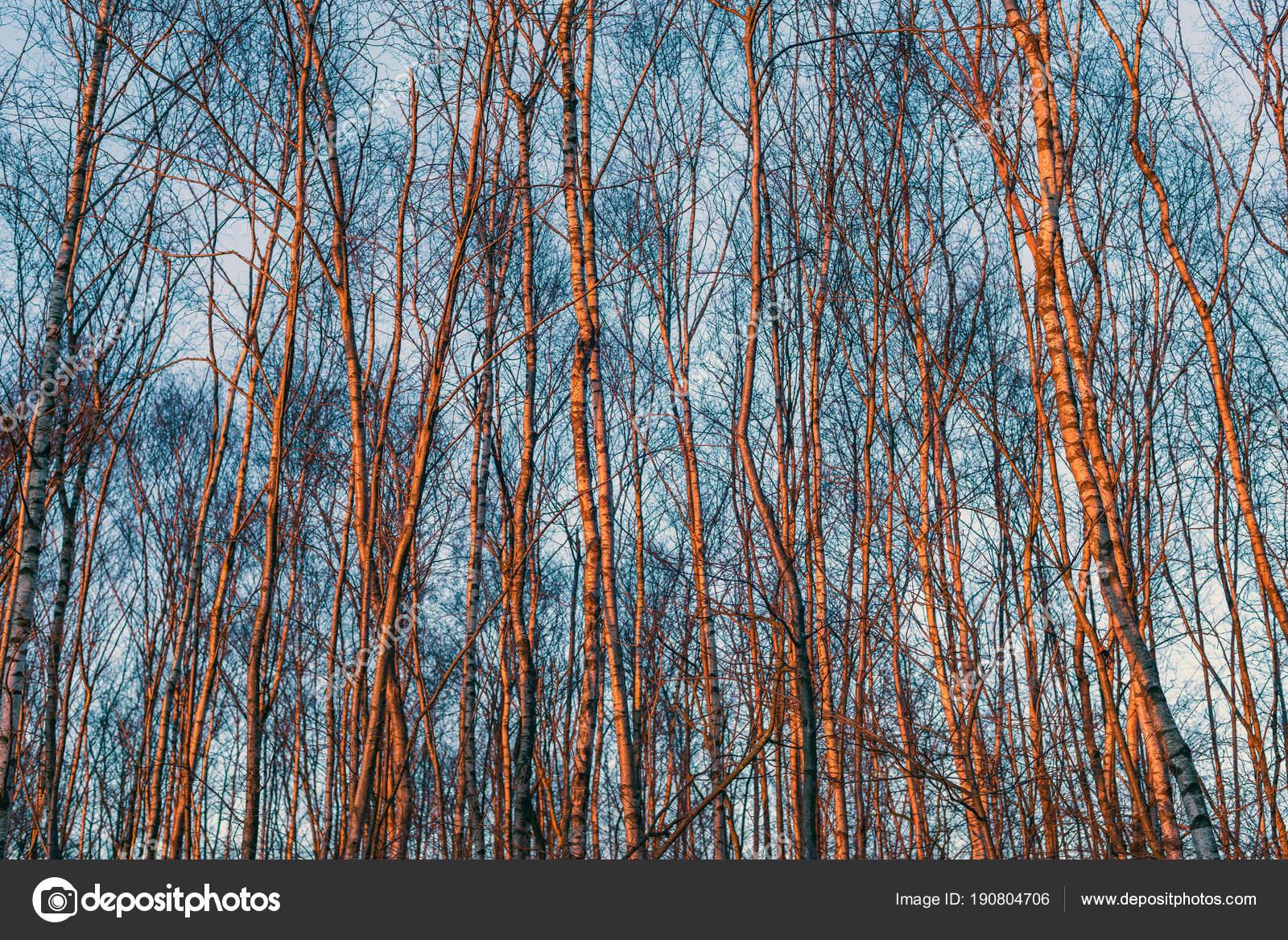 Troncos de abedul de invierno — Fotos de Stock © ysbrand #190804706