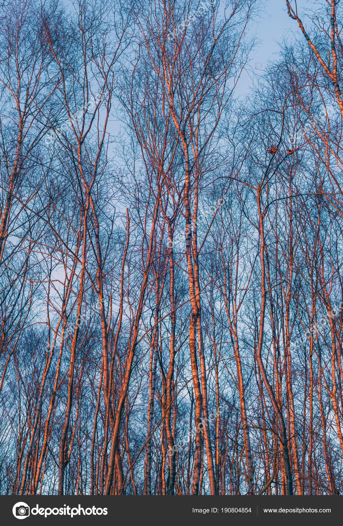 Troncos de abedul de invierno — Fotos de Stock © ysbrand #190804854