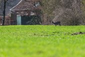 Fotografie Roe goat standing in farmland