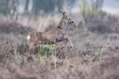 Fotografie Srnec mladý buck utíkat v poli s heather keře
