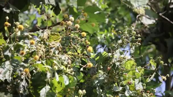 Teakbaum blatt  weiße und gelbe Blume der Teak-Baum — Stockvideo © nitinut380 #127248456