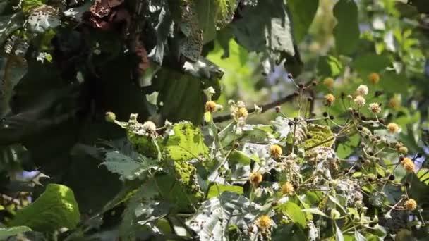 Teakbaum blatt  weiße und gelbe Blume der Teak-Baum — Stockvideo © nitinut380 #127248490
