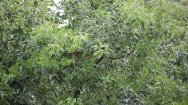 Cinnamomum camphora tree with rain