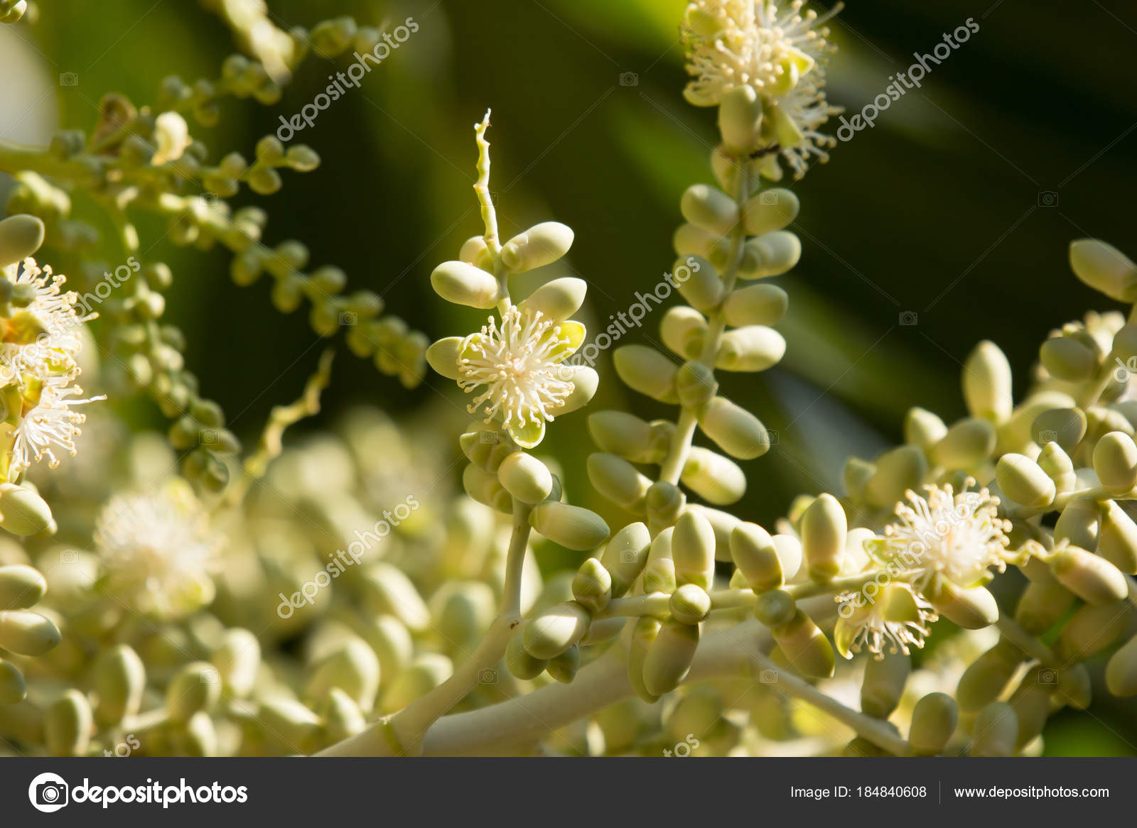 Green Palm Tree Seed And Flower Stock Photo Nitinut380 184840608