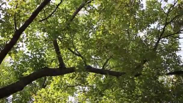 Green Leaf of Cinnamomum camphora tree