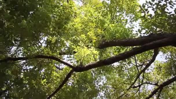 Zelený list skořicového kafru