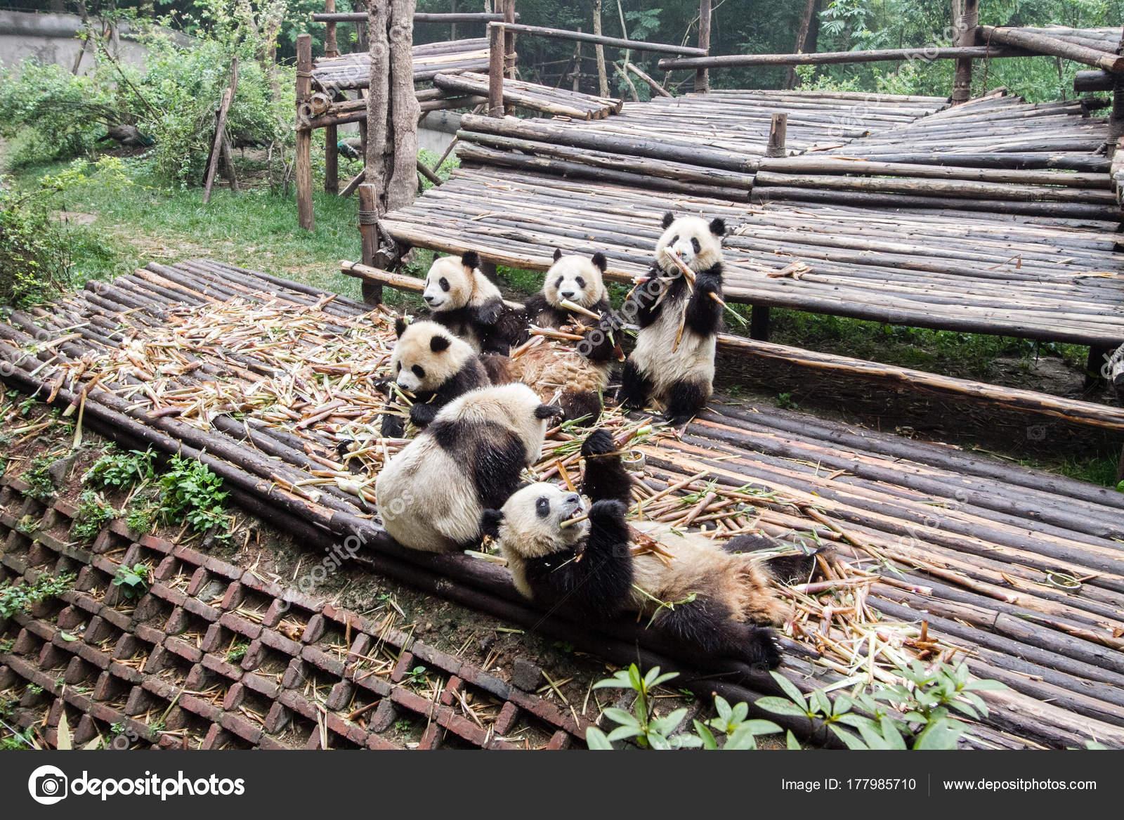 Die Pandas Essen Bambus Morgen Zoo Von China Stockfoto C Drpichai