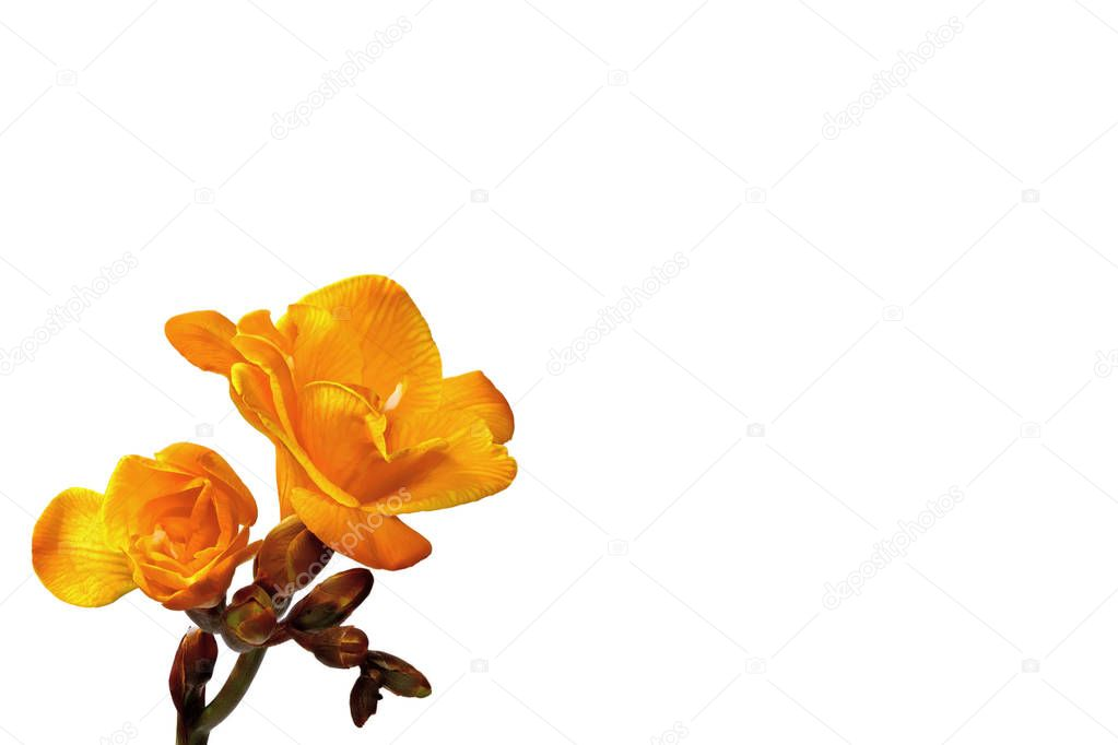 Yellow freesia on  a white background left small
