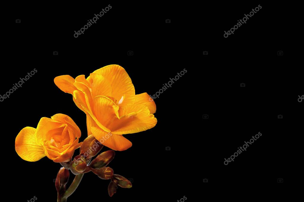Yellow freesia on a black background to the left - small