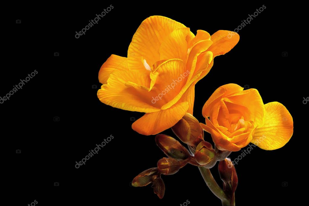 Yellow freesia on a black background right