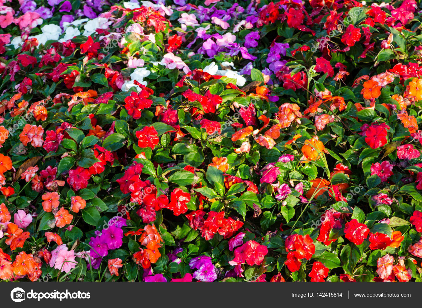 Multicolored impatiens plants blooming profusely in a summer flowers ...