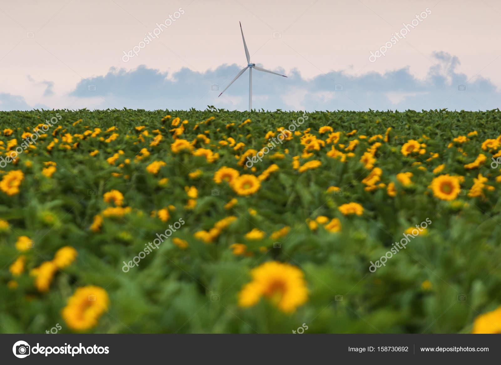 Splendido paesaggio con campo di girasoli e vento elettrico a ba ...