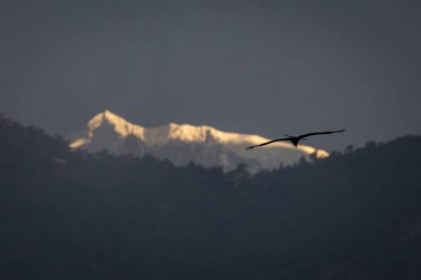 Eagles flying with Himalaya mountains in background. Nepal.