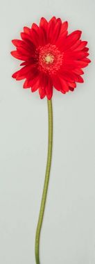 close up view of beautiful red flower isolated on grey