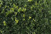 Fotografie Floral texture of green box plant leaves