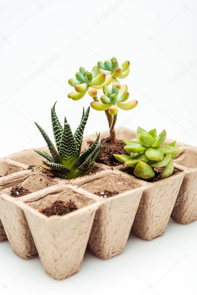 potted beautiful succulents isolated on white, earth day concept