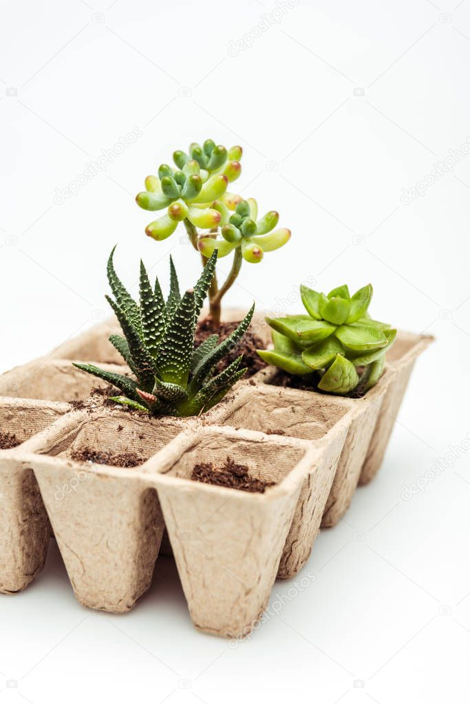 potted green succulents isolated on white, earth day concept