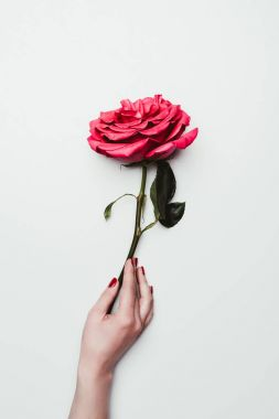 Female hand holding rose flower isolated on white