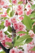 Detailní záběr růžové kvetoucí Sakura s listy na větvi