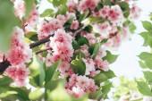 Detailní záběr sakura květy s listy na větvi