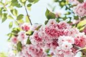 Detailní záběr růžové sakura květ s listy na větvi
