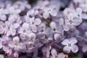 full frame image of violet lilac bloom background