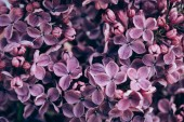 Photo full frame image of violet lilac texture
