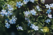 closeup view of forget-me-nots on blurred background