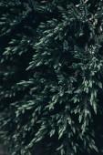 Fotografia Chiuda sul colpo di rami di conifere albero in primavera