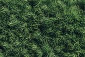 Fotografie full frame image of pine tree needles background