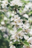close up view of apple tree flowers with leaves